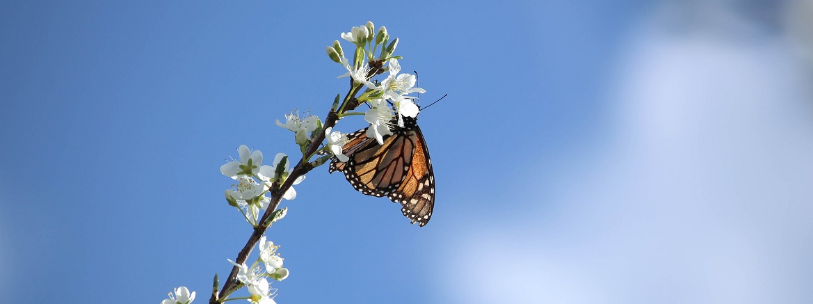 monarch butterfly on white blossom against blue sky